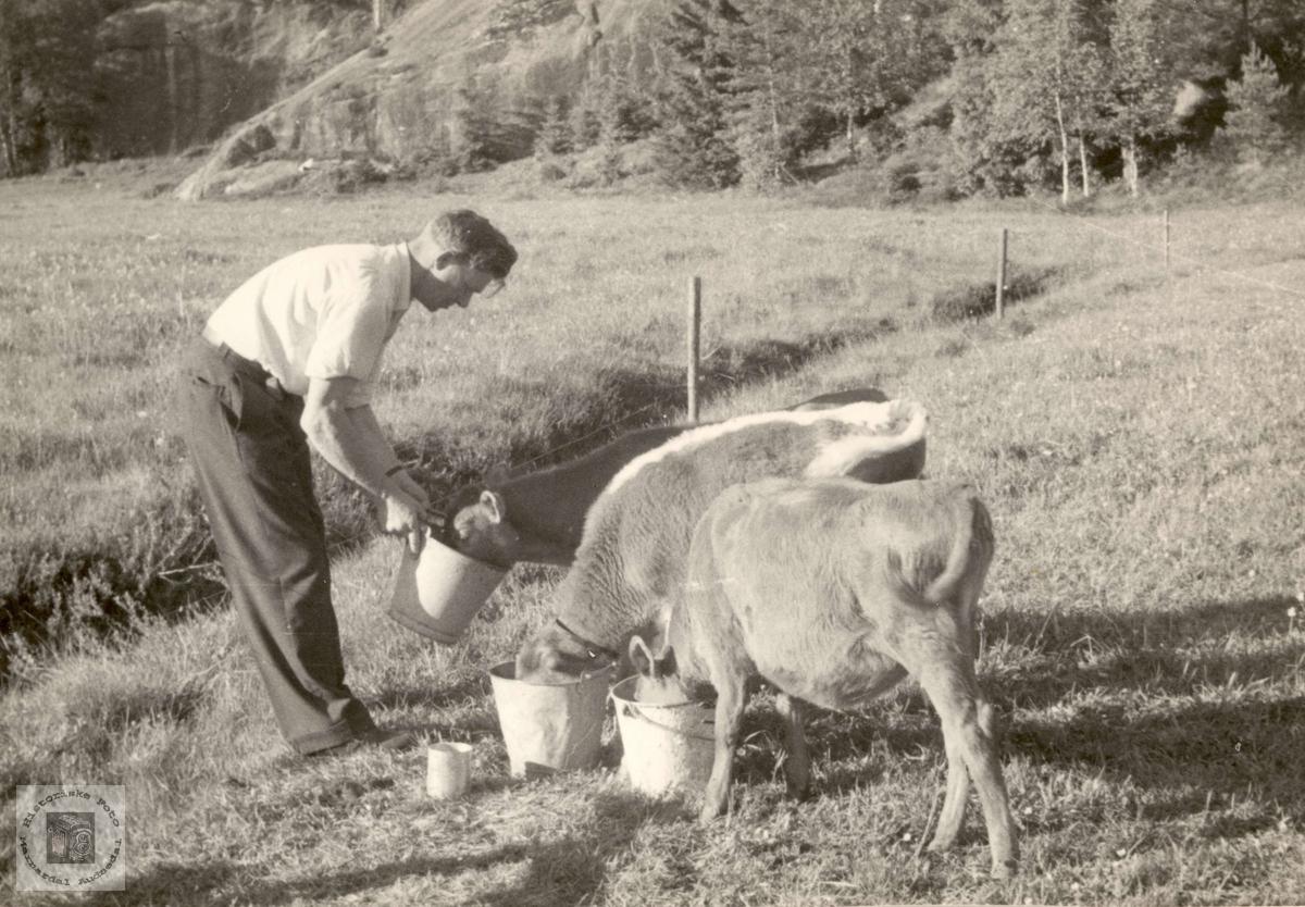 Kalvebrønning på Konsmo.