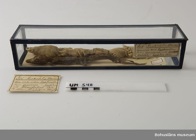 """Två mumifierade krokodilungar, den ena i sin linnebinda. Krokodilerna kommer från den antika egyptiska staden El-Maabdeh som var platsen för en av de äldsta krokodilnekropolerna i det forntida Egypten. På Nilens östra sida, uppe på en platå, låg gravplatsen som även innehöll mumier av människor. El-Maabdeh upptäcktes officiellt (?) 1873 av den italienska zoologen Paolo Panceri.  Nekropolen lär ha innehållet ett oräkneligt antal krokodilmumier, tätt packade på varann. De mumifierade krokodilerna offrades till krokodilguden Sobek. Det moderna namet på El-Maabdeh är Manfaloot/Manfalut.  Ur Ur Knut Adrian Anderssons katalog II Uddevalla - Musei - Historiska - Samlingar: E: Utländska föremål De Etnografiska föremålen upprättad år 1916: No 66. Två små Krokodil-mumier, den ena i sin linnebinda. Från gravarne vid Manfaloot i Egypten 1850. Sk. av Mr. D. Macfie i Edinburg 1866.  Kontinent: Afrika  Ur handskrivna katalogen 1957-1958: Två små krokodilmumier. Egypt. Den lindade L: 27,5, Den olindade. L: 24. (i 3 delar) Gravfynd. Manfaloot, Egypten 1850.  Lappkatalog: 100  De två mumierna ligger i en avlång glaslåda vars hörn och kanter är sammanfogade med en blå textilarmerad klisterremsa.  Dessa båda mumier av krokodilungar var de båda första föremålen av museets samlingar som överflyttades till Bohusläns musei nybyggda hus vid Norra Hamnen då överflyttningen påbörjades i november 1983.  Föremålen visas i basutställningen Uddevalla  genom tiderna, Bohusläns museum, Uddevalla.  Litt.: Artikel """"Exotica"""" i Bohusläningen den 14 augusti 1941.  David Macfie, Edinburgh (Mr Johnstone David Macfie, 1828-1915); en släkting i den till Uddevalla under 1840-talet inflyttade familjen Macfie. Klan Macfie fick bl.a. sina inkomster genom import av sockerrör från Västindien med efterföljande raffinering i Skottland. En gren av familjen var sysselsatta med samma verksamhet i England, jfr Mr Robert Marquis, Liverpool. Sugerboiling kallas verksamheten på engelska; sockerraffinaderi på svenska."""