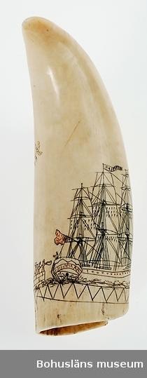 """Text till webbutställning """"Från när och fjärran"""" på museets hemsida i februari 2009 - 2013: Scrimshaw är den engelska beteckningen på denna sorts hantverk. I Sverige benämns tekniken hornstick eller nålgravyr. Under 1800-talet besöktes Söderhavsöarna regelbundet av brittiska och amerikanska valfångare. Valarna jagades för dess rika innehåll på oljor. Besättningen på dessa fullriggare kunde sysselsätta sig med att gravera bilder på käkar och tänder av val. Med knivens spets ristades mönster, ofta med motiv från den värld de hade omkring sig. På denna tand ser vi ett valfångstfartyg som seglar förbi en grupp vinkande personer på en kaj. Engelska örlogsflaggan fladdrar på mesanmastens gaffel, en vimpel med skeppets namn """"Farewell"""" vajar i stormasten. På tandens andra sida syns en av övärldens karaktärsväxter, en palm av något slag, placerad i en kruka. Ristningarna är infärgade i svart och rött.  Ur handskrivna katalogen 1957-1958: Tand av val, Austr. L. 13 cm; spetsig, krökt; inristad dekor: Segelfartyg och kruka m. blommor. Hel.  Ur handskriven katalog över Uddevalla - Musei Historiska - samlingar: Utländska föremål = De etnografiska föremålen upprättad  år 1916 av Knut Adrian Andersson, Intendent från 1 Oktober 1915: Tand av Kaskelot (Spermaceti-val) med ingraveringar av Innevånare på Söderhavsöarna. (?) Sk. 1866 av Mr J.D. Macfie Edinburg.  Scrimshaw = engelska uttrycket för att snida och måla (dekorera) elfenben och snäckskal; elfenbens-, snäckskalsarbete.  Motiv: Segelfartyg, en fullriggare (klipperfartyg?), kanske ett valfångstfartyg, med vimpel med ordet """"Farewell"""" inristat på en vimpel i högsta masttoppen, stormasten; på mesanmastens gaffel syns engelska örlogsflaggan. På en kaj snett akterut syns tre vinkande personer. En man på segelfartygets däck. Fartygets sidor har antydningar av målade portgångar, efter idé från örlogsfartygens kanonportar. Ett mode i handelssjöfarten vid den tiden. Palmkvistar med frö- eller fruktställningar, troligen en fantasiskapelse"""