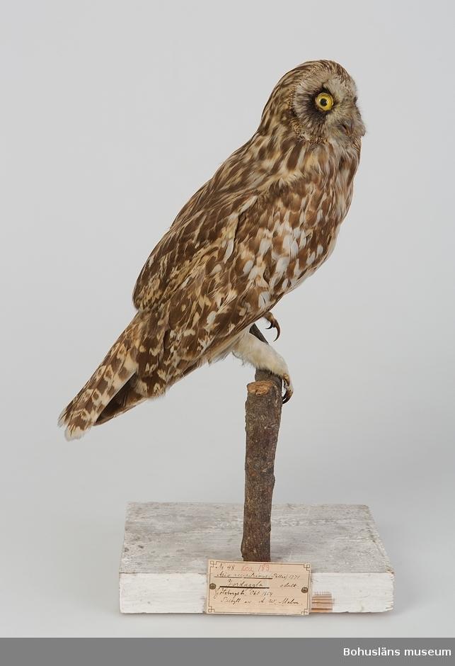 Yngre fågel. Göteborgstrakten oktober 1854. Tillbytt av A.W.Malm.  Ur handskrivna katalogen 1957-1958: Jorduggla