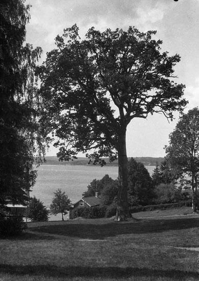 """Uppgift enligt fotografen: """"Uddevalla. Gustafsberg, träd. Vid villa """"Rotunda."""""""