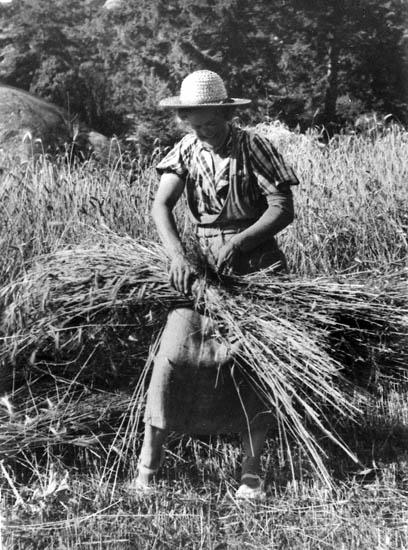 Tora Ludviksson (Olles mor) binder kärvar på Blötebogen. Hon kommer från Ärtemark i Dalsland, hatten är därifrån.  Ca 1935.