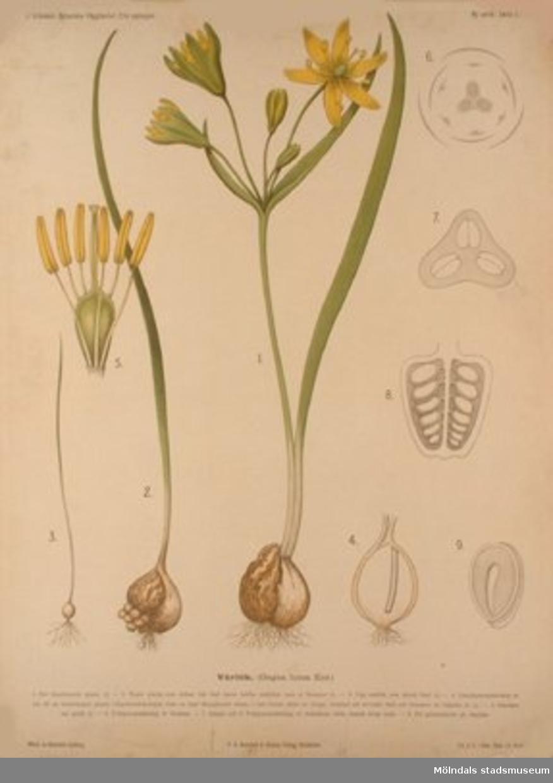 Biologi:Vårlök.Målat av Henrietta Sjöberg.J. Eriksson. Botaniska väggtavlor. 2:a upplagan.Lit. o. tr. i Gen. stab. lit. anst.