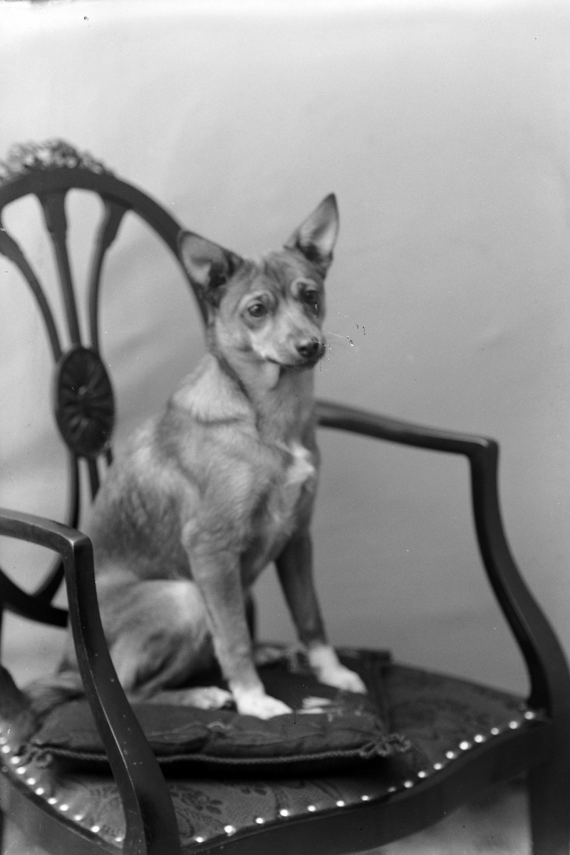 Studioportrett av en hund på en stol.