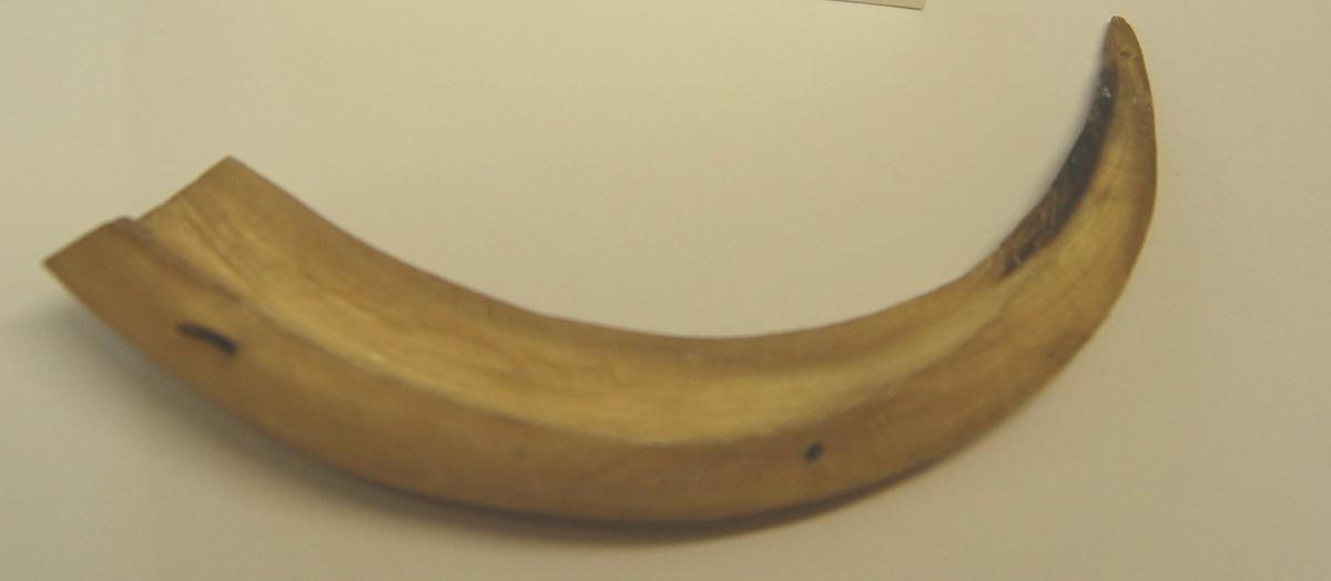 Moskushorn fra ungdyr, svakt buet som er delt/splittet på langs.