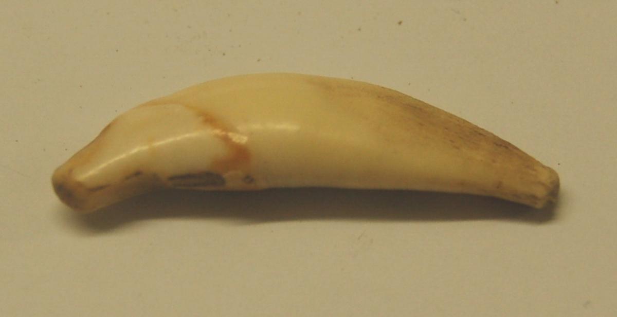 Tannen er svakt buet og i god stand.