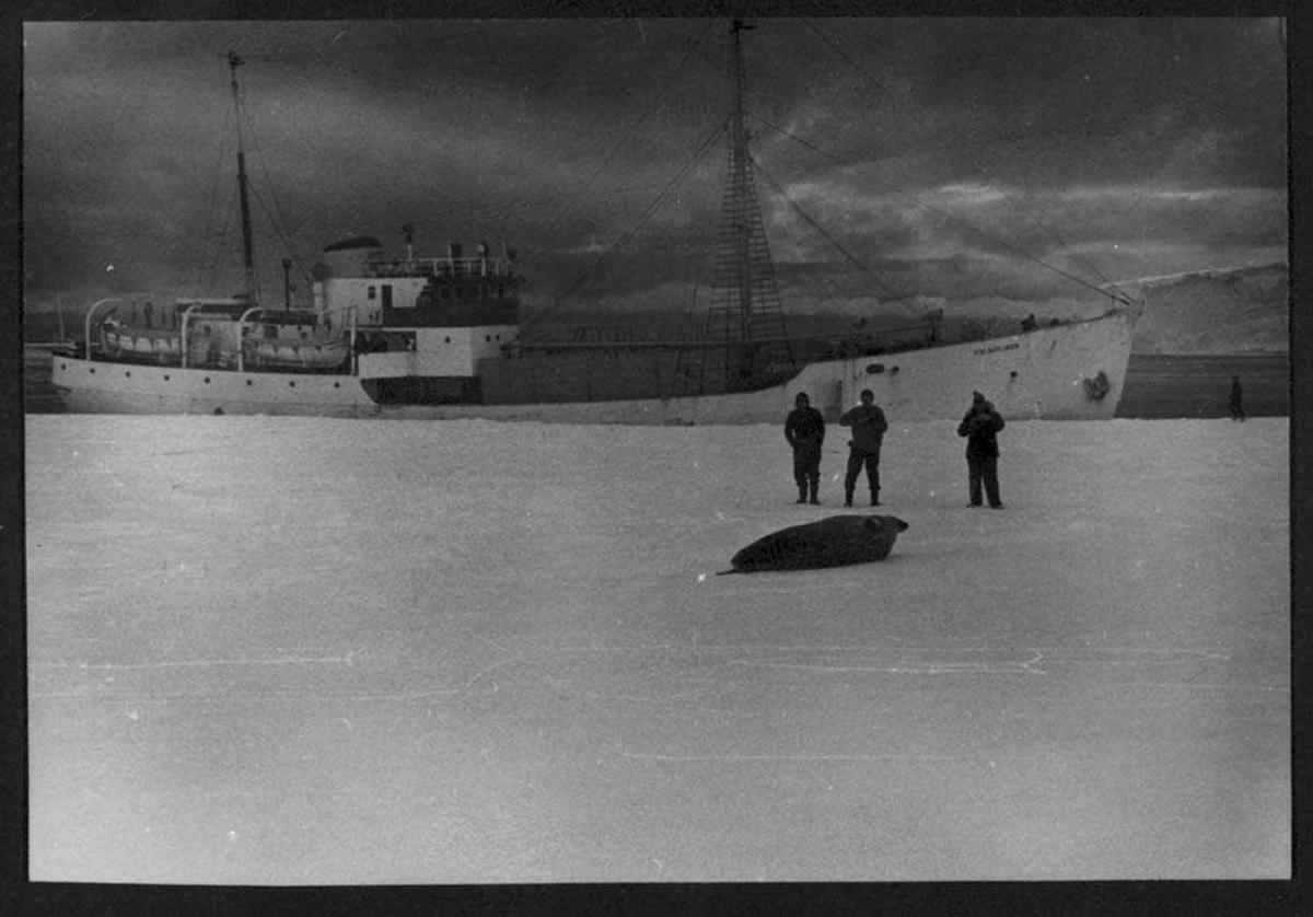 """""""Polarbjørn"""" ved iskanten. Tre personer inne på isen. """"Studerer"""" en sel"""