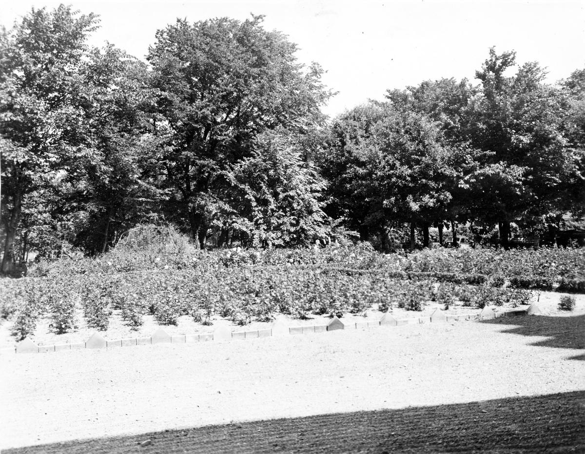 Biotop, boplats för gulhämpling (Serinus serinus)