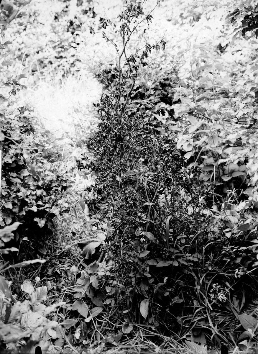 Boplast för lövsångare ,(phylloscopus trochilus ) 20 juni 1910
