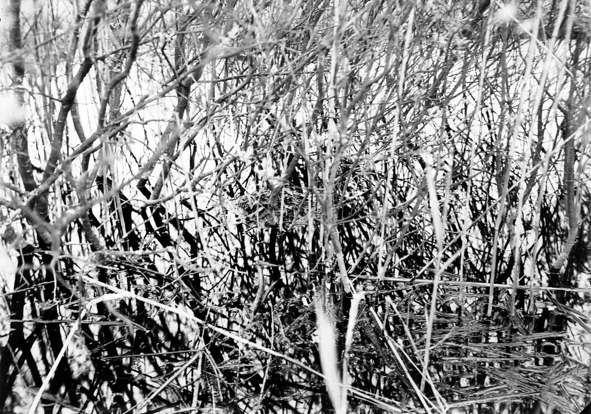 Boplats för Podiceps minor, smådopping Bökeberg 9 maj 1916, Skåne