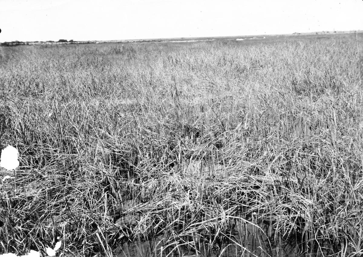 Boplats för svarttärna, Sterna nigra, 7 Juni 1908