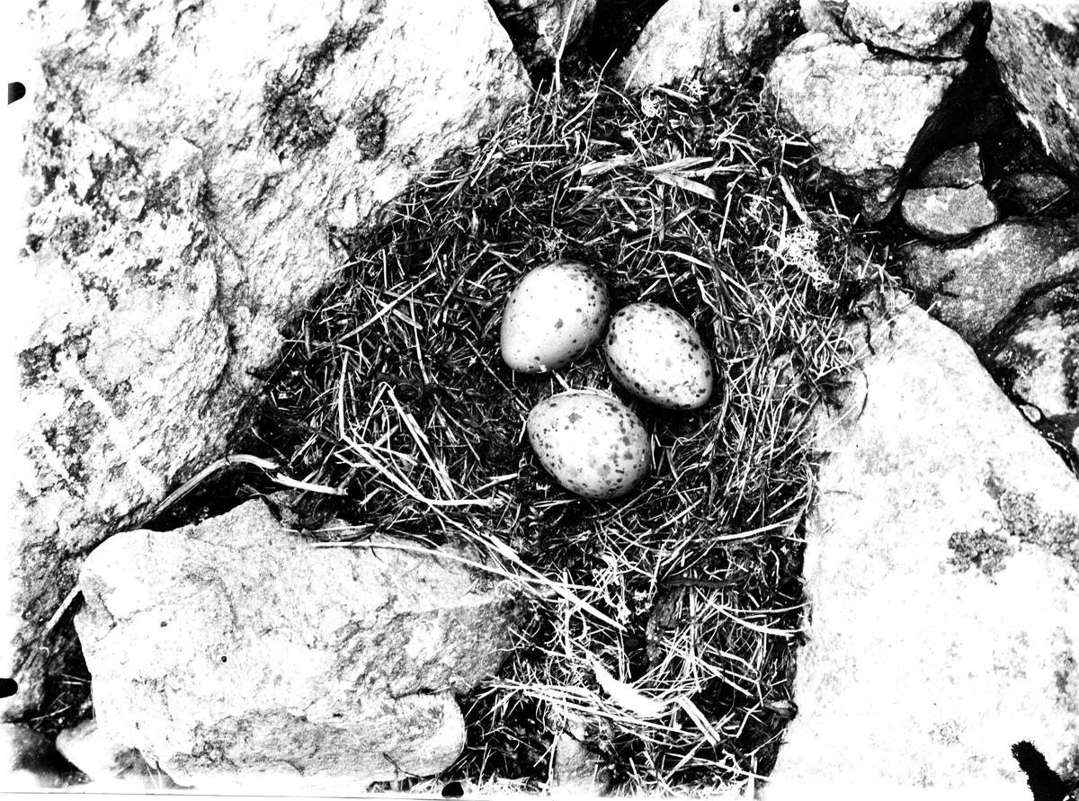 Bo av fiskmås, Larus Canus . 7 Maj 1937