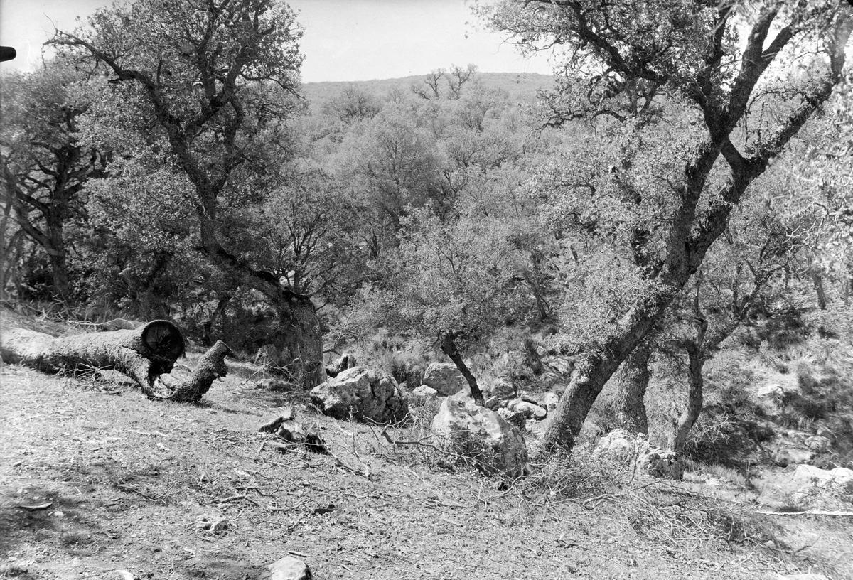 Stenek-skog nära Lambessa Östra Algeriet