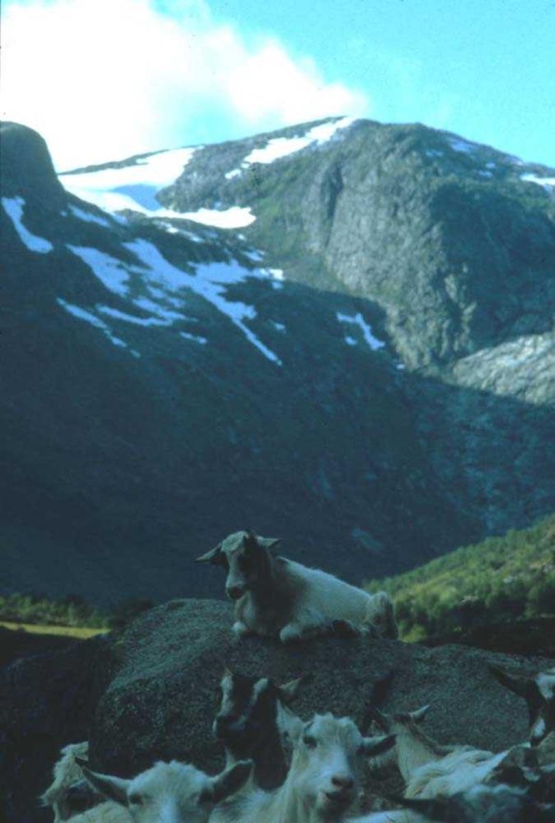 Landskap. En flokk geiter hviler ut i idyllisk Vestlandsnatur .