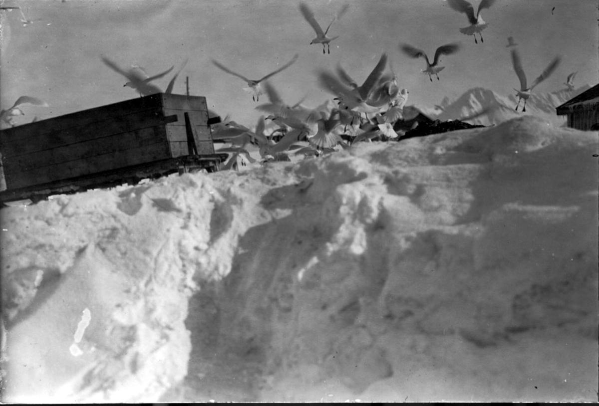Fugleflokk, måker. Slede med kasse t.v. Snø på bakken. Taket på bygninger sees i bakgrunnen.