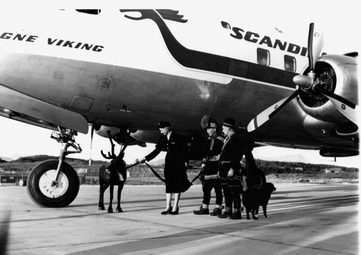 Lufthavn, 1 fly på bakken DC-6B, LN-LMF fra SAS. 2 samer med hund og rein ved flyet + flyvertinne.