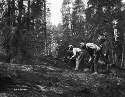 Rydding av branngate som ledd i skogbrannvern i Rambergsmark