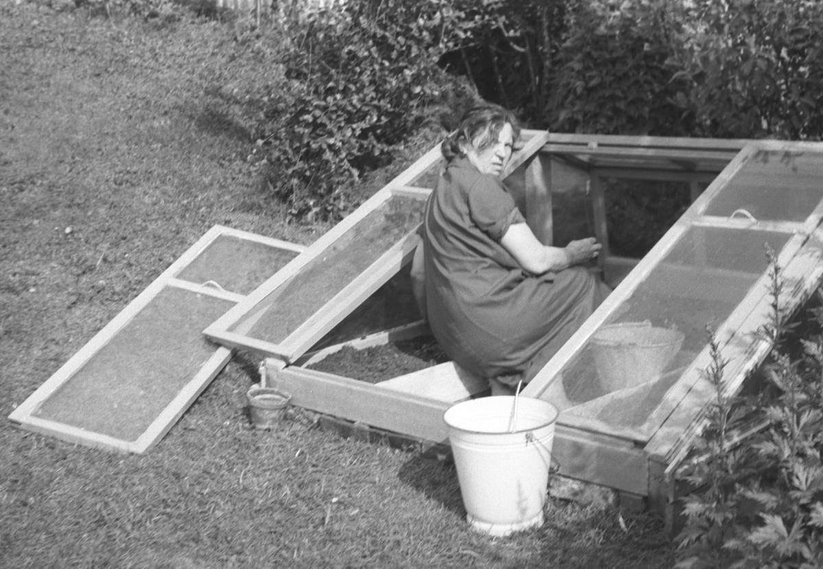 Frida Hauge jobber i sitt hjemmelagde drivhus i hagen i Nyborgveien. Drivhuset ble laget av de gamle vinduene som ble skiftet i familiens hus.