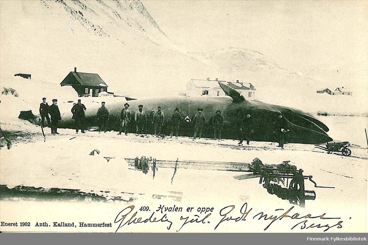 Postkort med motiv av en stor hval som er halt opp på land. Kortet er en jule -og nyttårshilsen til Arthur og Kirsten Buck på Hasvik. Kortet er uten poststempel, men antagelig fra rundt 1908.
