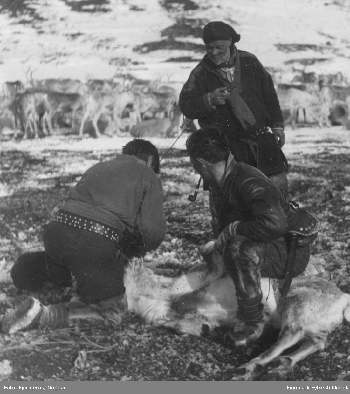 To reindriftssamer sørger for at en rein holdes nede mens Heikka Guttorm merker den. En stor reinflokk ses i bakgrunnen. Stedet er ukjent, men bildet er tatt i april/mai 1948.