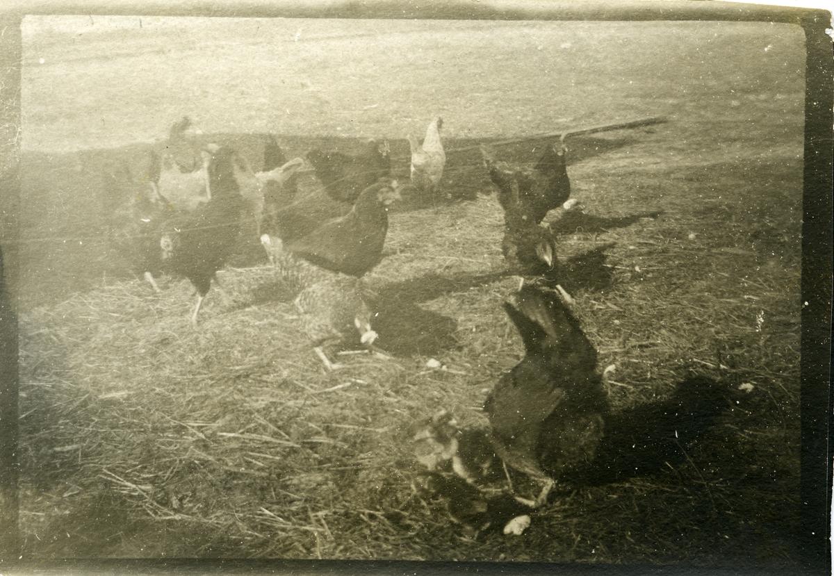 """Høns. Tekst bak på bildet: """"Dette er nogle af vores høns vi har omtrent 50 høns i alt""""."""