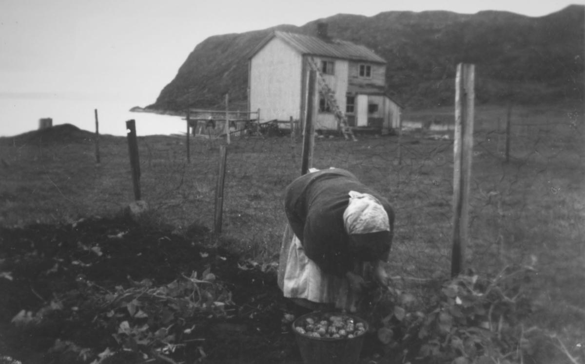 De første potetene høstes etter krigen. Anne Lise Moes tante Hjørdis Andersen midt i potetopptaket i 1947.