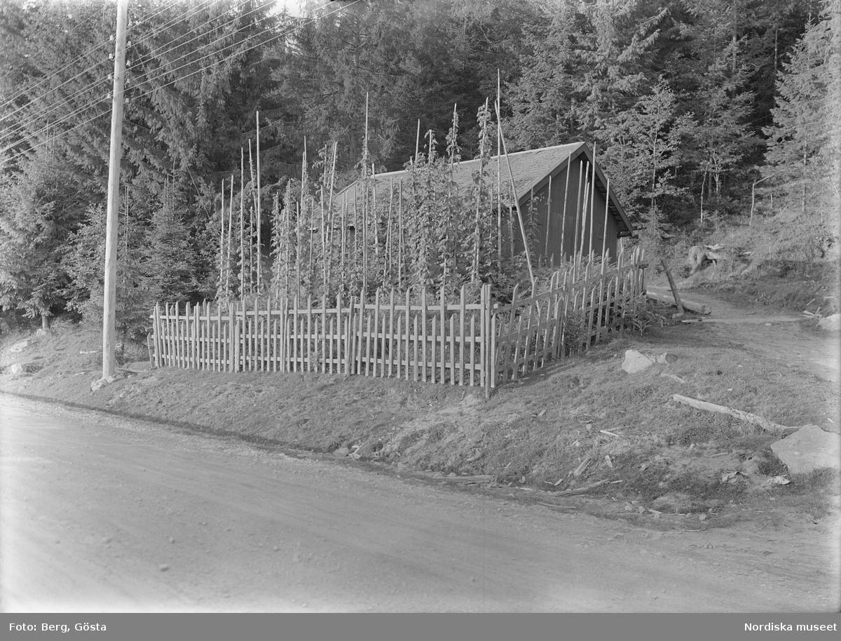 Värmland. Älvdals hd. N. Ny sn. Ö. Värnäs. Jonas Nordkvist. Humlegård. Foto G. Berg 1928. Etnologiska undersökningarna NORDISKA MUSEET  1001.  Sp. 98 Pors och humle för brygd.