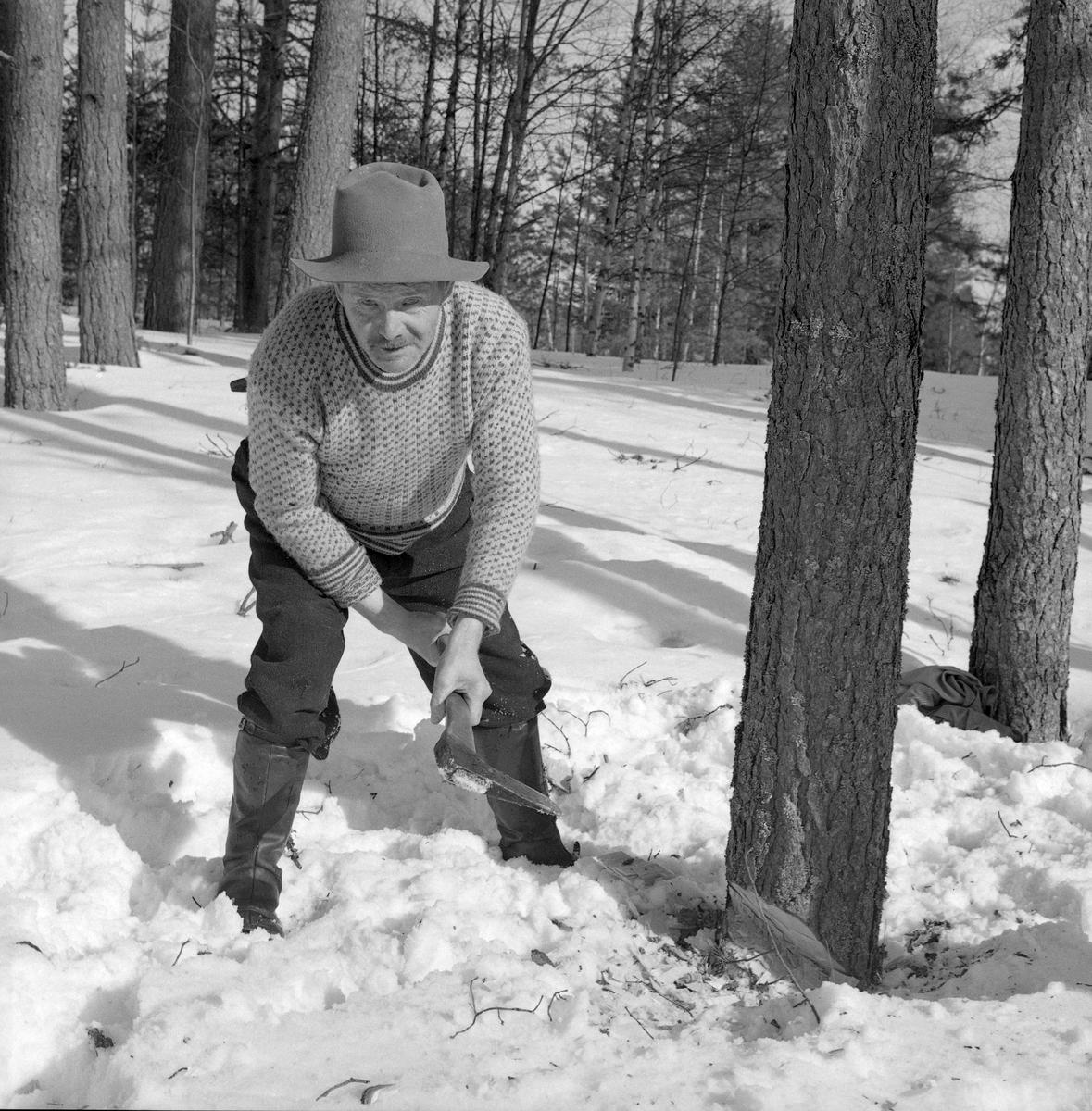 Skogsarbeideren Martinus Nordal (1890-1967) fra Elverum hogger ei furu med øks. Da dette fotografiet ble tatt hadde Nordal hogd et V-formet innsnitt i rotsona på treet. Snart skulle han bytte posisjon for å hogge et tilsvarende innsnitt fra motsatt side. Hogginga ble avsluttet da det bare sto igen en smal kan mellom de to skårene. Den knakk når Nordal skjøv treet i ønsket fallretning. Hogsten ble utført med ei forholdsvis smalbladet, tung øks. Nordal arbeidet i vadmelsbukser og ullgenser (islender). På hodet hadde han en filthatt der bremmen antakelig skulle skjerme nakkepartiet for snødryss eller vann fra trekronene. Nordal arbeidet uten votter. Leggene og anklene var beskyttet av snøsokker av lær. Fotografiet er tatt i forbindelse med opptakene til dokumentarfilmen «Liv og husvær i skogen».  Litt biografisk informasjon om Martinus Nordal finnes under fanen «Opplysninger».