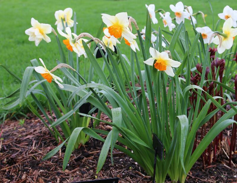 Narcissus 'Croesus' (Foto/Photo)