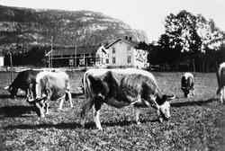 Kyr på beite, Sanda i Øvre Bø