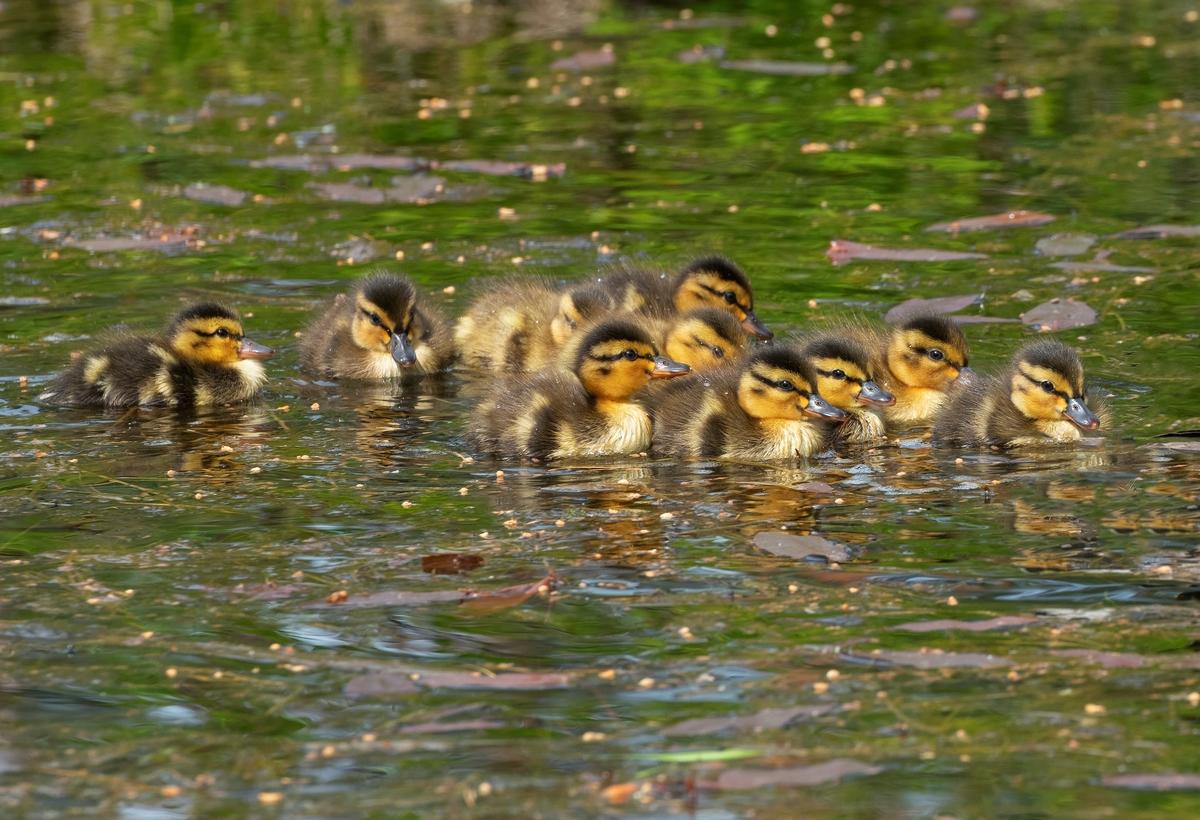Stokkand-unger i en dam på Glomdalsmuseet, Elverum, Innlandet. Ungene svømte rundt i dammen og spiste sammen med mor.