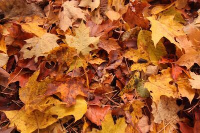 Bildet viser oransje løv. Foto/Photo