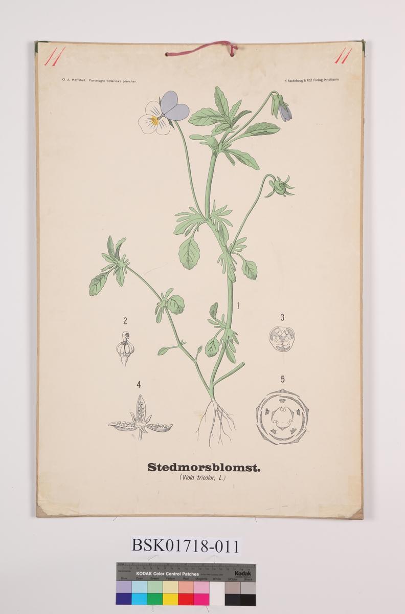 Blomt. Stemorsblomst