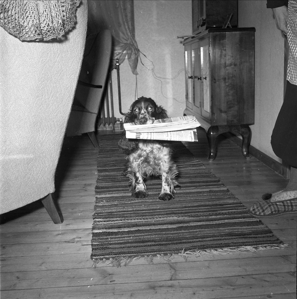 Otta, Sel, Oppland. Hund med avis i interiør.
