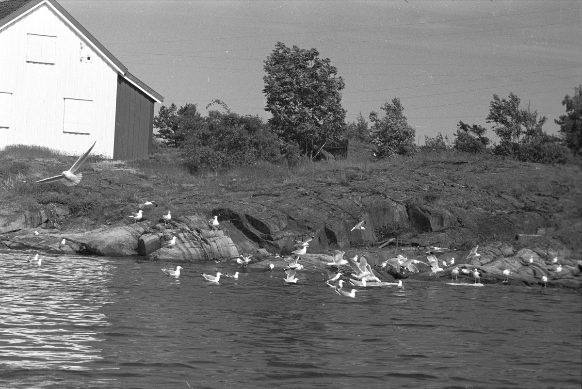 Lyngør, september 1962, hus i strandkanten, måker på sjøen.