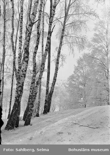 """Text som medföljde bilden: """"Björkar. Parken.""""  Uppgifter från Munkedals HBF: """"Hede. Munkedals Folkpark."""""""