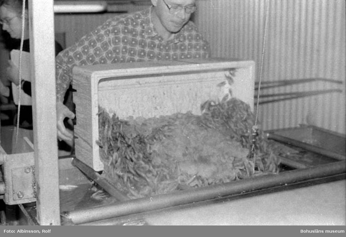 """Enligt fotografens noteringar: """"Blixtkort på Krister Stenman när han tömmer en låda råräk."""" Fototid: 1995-11-02."""