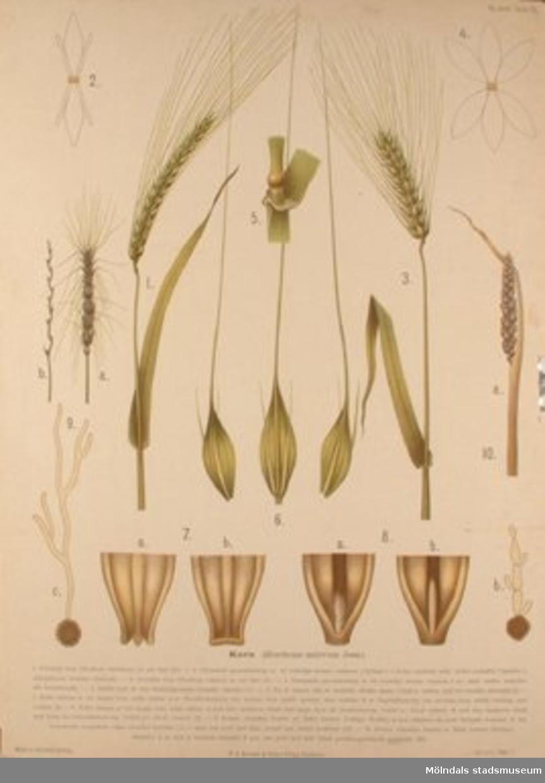 Biologi.Korn.Målat av Henrietta Sjöberg.J. Eriksson. Botaniska väggtavlor. 2:a upplagan.Lit. o. tr. i Gen. stab.