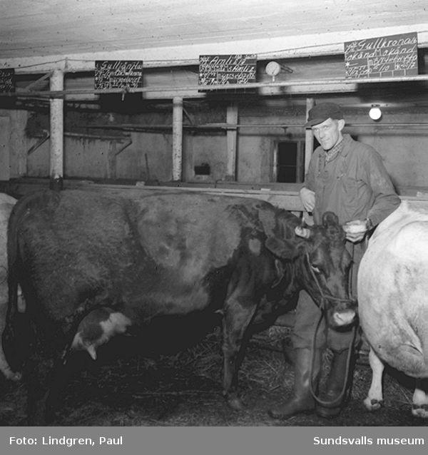 Reportage hos en bonde i Lidensboda.