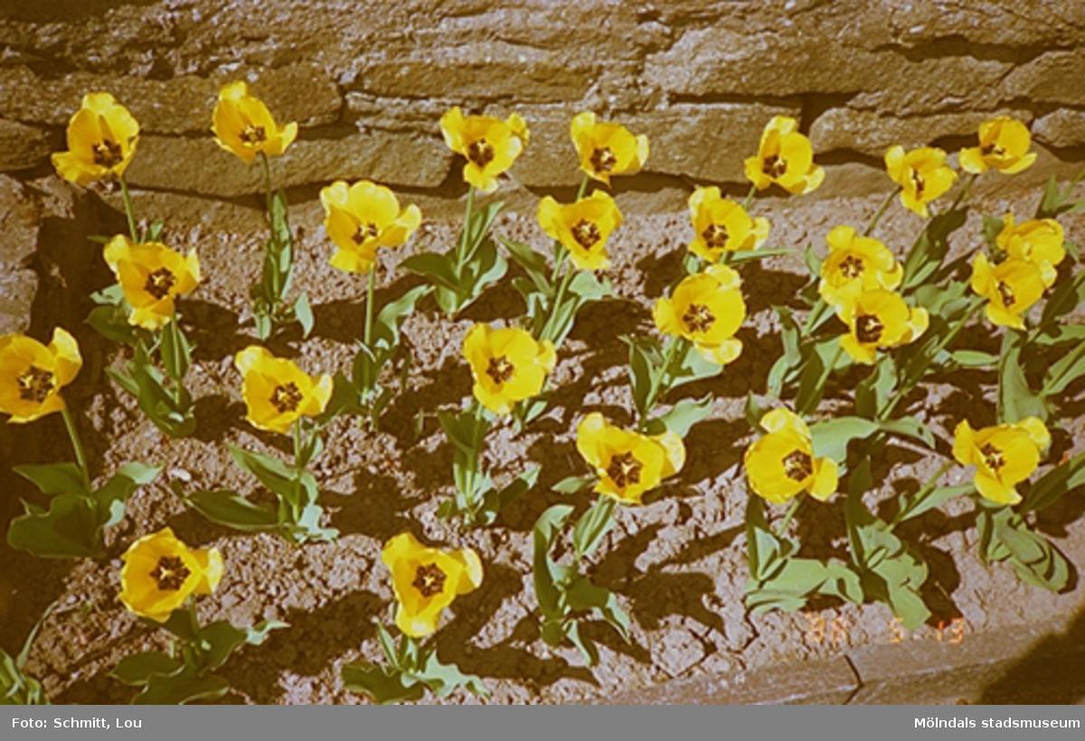 En rabatt med gula blommor som växer vid en stenmur.