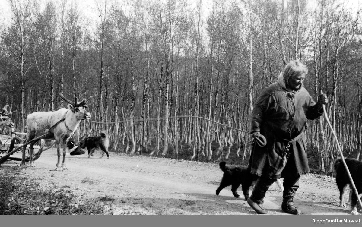 Nisu herggiin ja njelljin boazobeatnagiin. Kvinne med kjørerein og fire reingjeterhunder på vårflytting.