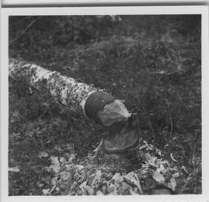 'Biologiska föreningens utfärd till Sveafallen och Villingsbergs kronopark. ::  :: Närbild på stubbe och stam hos bäverfällt björkträd. ::  :: Se fotonr. 4226:1-34, 4228:1-3 och 4229:1-3 från samma utfärd.'