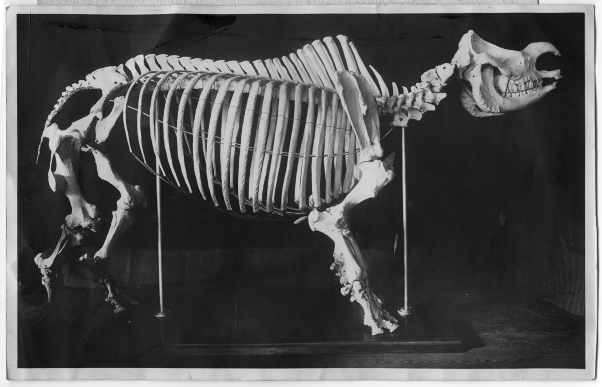 1 skelett av indisk noshörning.