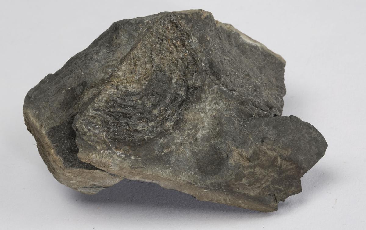 Fossil BRACHIOPODE