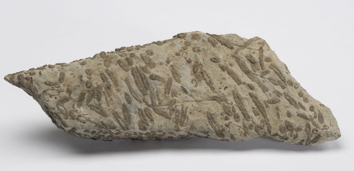 Fossil KALKALGE