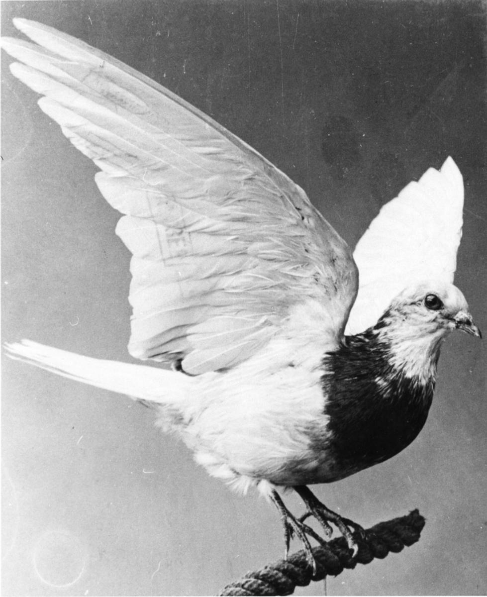 Den enda återfunna brevduvan från Andréexpeditionen, sköts den 13 juli 1897.