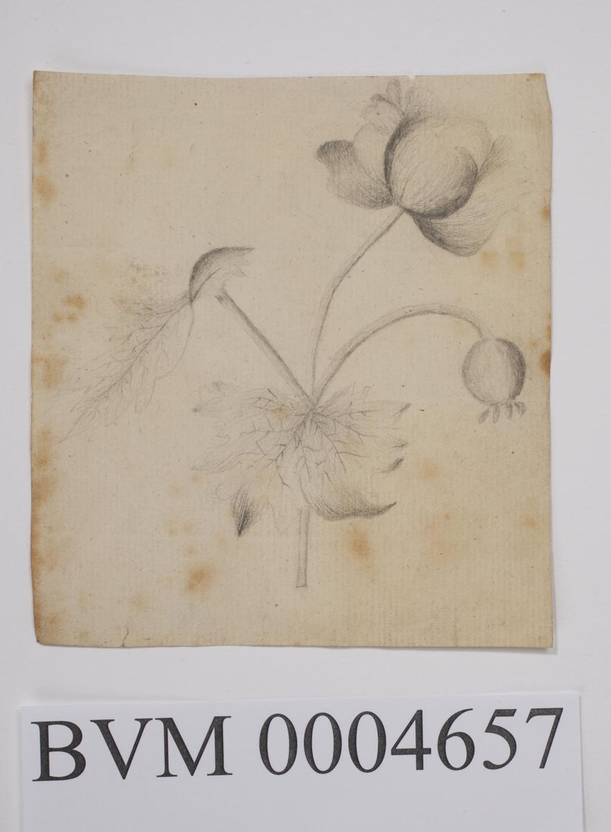 Blyanttegning av blomster.