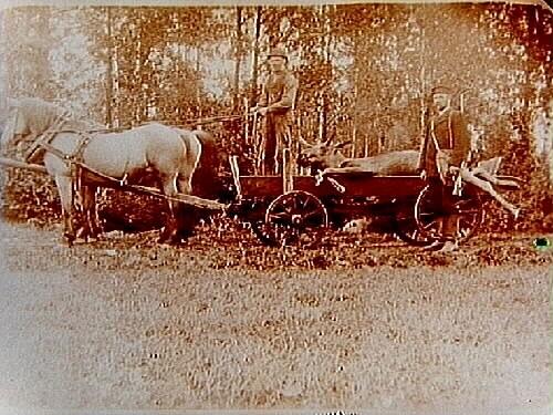 Älgjakt. Skjuten älg på flakvagn dragen av två hästar.Anders Hesselgren.