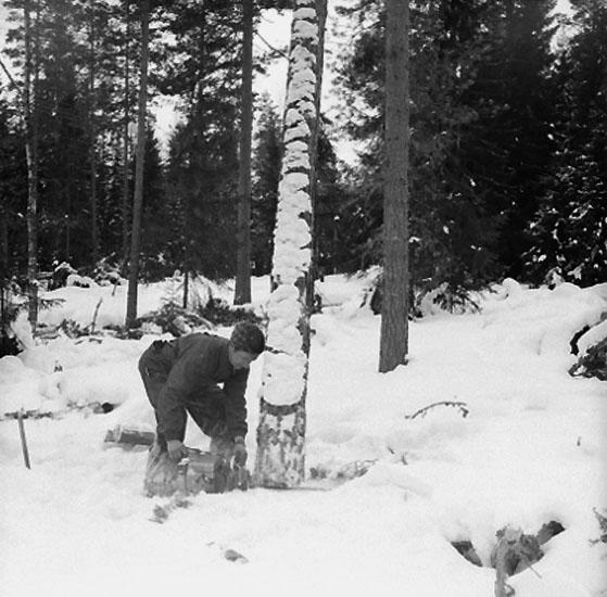 Skogsbruk, trädfällning, en man med motorsåg.Gustafsson & Gortz (beställare ?).