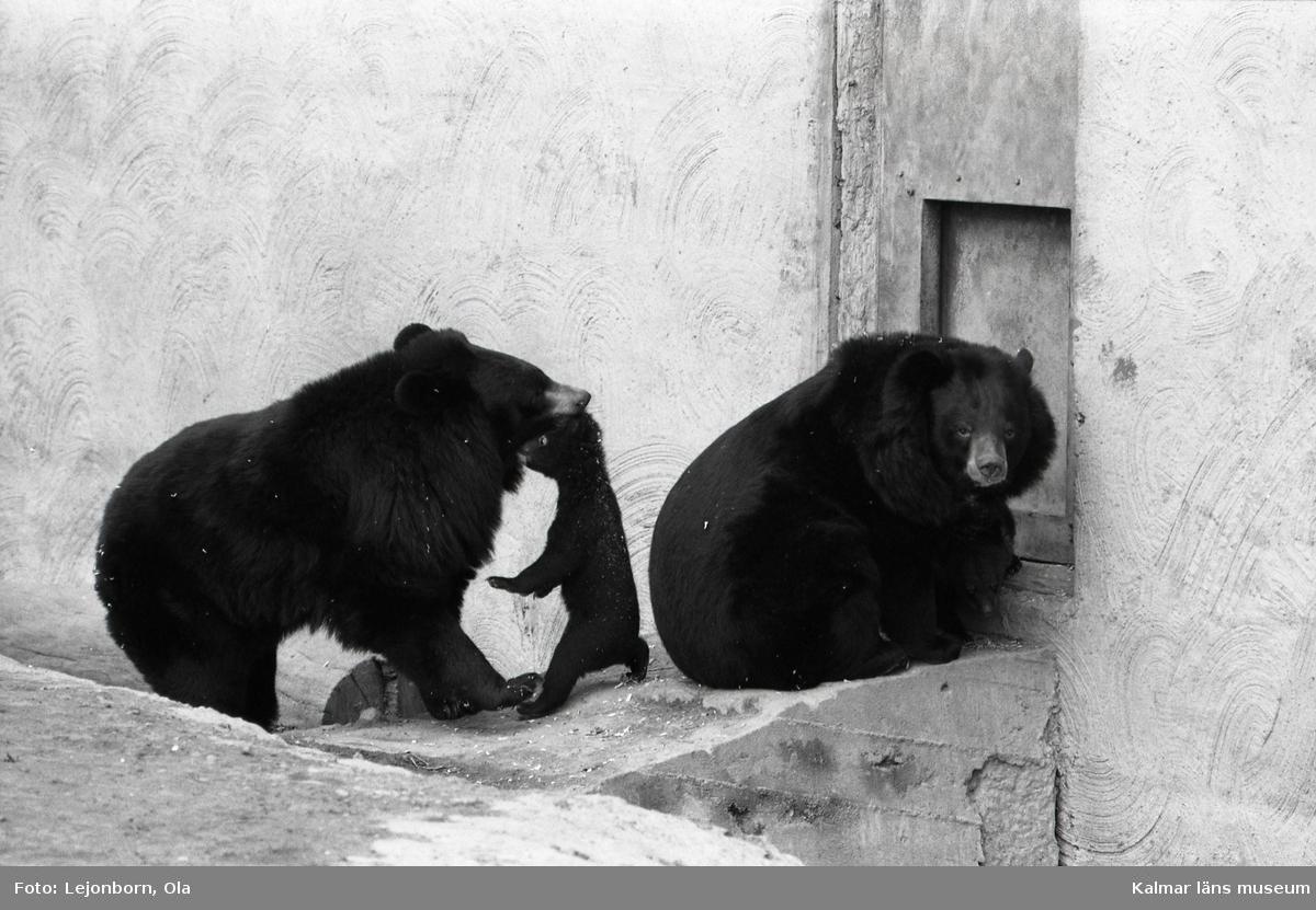Ölands djurpark. Kragbjörnens ungar är ute för första gången.